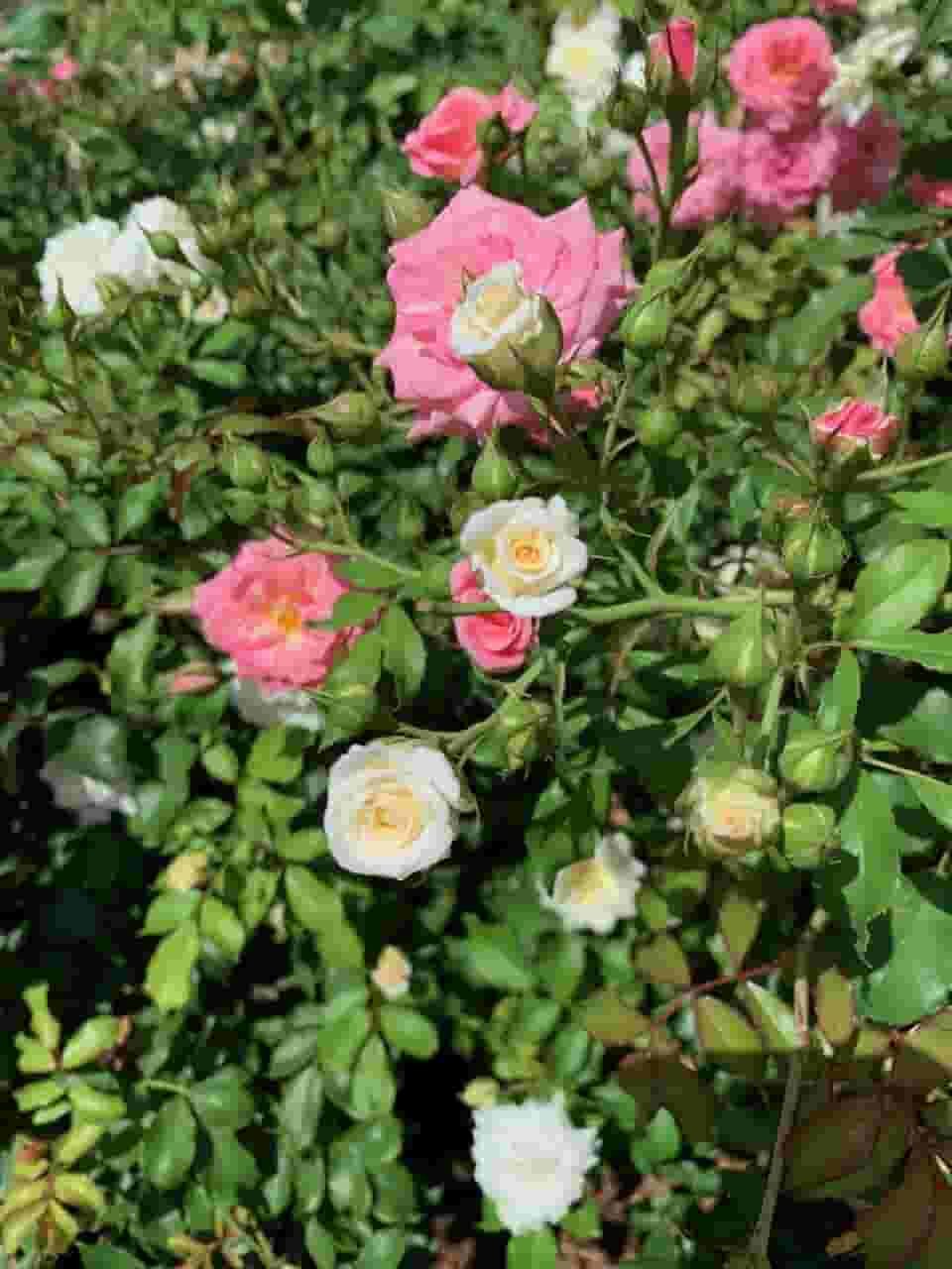 Spring roses at Longue Vue house