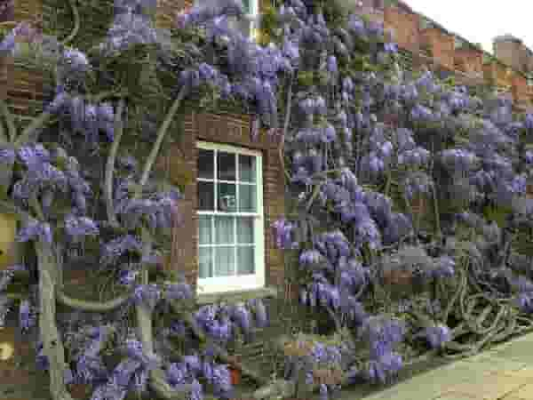Wisteria in Oxford
