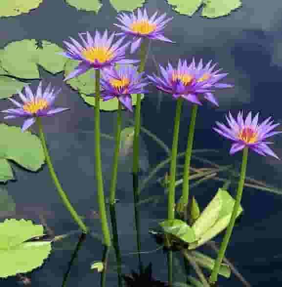 New Orleans Botanical garden water lilies