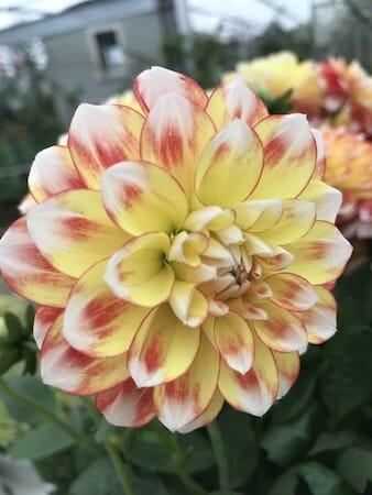 Amazing dahlia flower